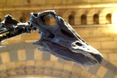 Diplodoccus Head, copyright NHM London