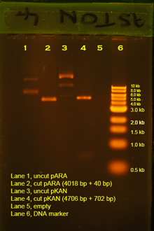 Typical labelled gel stained with Gel red